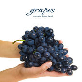 Hands holding freshly picked grapes — Stockfoto