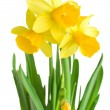 Daffodils in green grass over white — Stock Photo