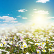 Field of daisies and blue sky — Stock Photo