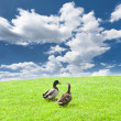Ducks on a green meadow under a cloudy sky — Stock Photo