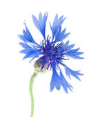 Blossoms of cornflower — Stock Photo
