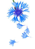 Blue and Cyan Colored Cornflower Isolated on White — Stock Photo