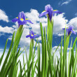 Stock Photo: Beautiful fresh iris flowers