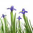 Beautiful fresh iris flowers — Stock Photo