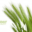 Green grass spikelet — Stock Photo