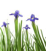 Beautiful fresh iris flowers — Stock Photo