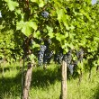 Several bunches of ripe grapes on the vine (selective focus) — Stock Photo