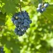 Several bunches of ripe grapes on the vine (selective focus) — Stok fotoğraf