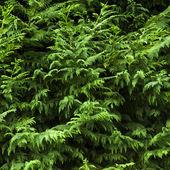 Juniper (Juniperus) — Stock Photo