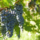 Varios racimos de uvas maduras en la vid (enfoque selectivo) — Foto de Stock