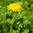 Dandelion field — Stock Photo #35405009