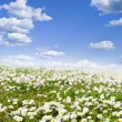 Field of daisies and perfect sky — Stock Photo #35405097