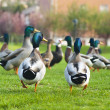 Flock of drakes. photo with selective focus — Stock Photo