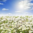 Field of daisies and perfect sky — Stok fotoğraf