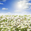 Field of daisies and perfect sky — Stock Photo #35405377