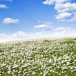 Field of daisies and perfect sky — Stock Photo