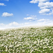 Field of daisies and perfect sky — Stock Photo #35405473