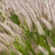 Fluffy grass — Stock Photo
