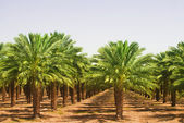 Views of palm oil plantations — Stock Photo
