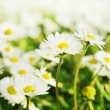 Chamomiles meadow, selective focus — Stock Photo
