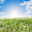 Field of daisies and perfect sky — Stock Photo #36361179