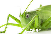 Locust isolated on white background — Stock Photo