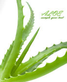 Green leaves of aloe plant close up — Stock Photo