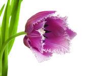 Pink tulips on white background — Stockfoto
