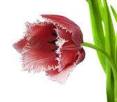 Beautiful tulip on a white background — Stock Photo