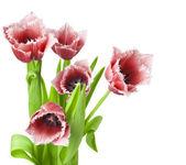 červené tulipány na bílém pozadí — Stock fotografie