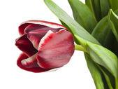 Rode tulip op witte achtergrond — Stockfoto