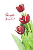 Bouquet of beautiful red tulips on white background — Stock Photo
