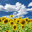 Sunflower field — Stock Photo #37138175