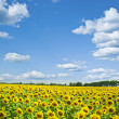 Sunflower field — Stock Photo #37138181