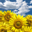 Abstract background with sunflowers over blue clouds sky — Stock Photo