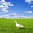 Duck on green meadow under cloudy sky — Stock Photo #37139685
