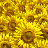Sunflower Background — Foto Stock
