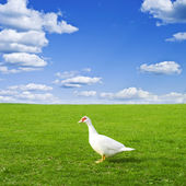 Duck on a green meadow under a cloudy sky — Stock Photo