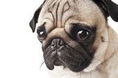 Close-up of Pug — Stock Photo