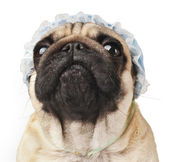 Close-up of Pug in blue cap — Stock Photo