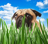 Puppy pug in the grass against the sky — Zdjęcie stockowe