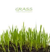 Grass isolated on white — Stockfoto
