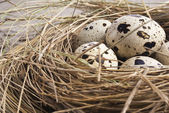 Quail eggs in nest — Stock Photo