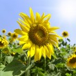 Sunflower field — Stock Photo #38264117