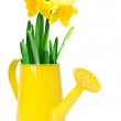 Narcissus flower in a watering can — Stock Photo