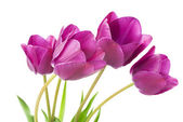 Purple tulips — Stock Photo