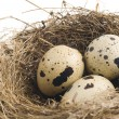Quail eggs in nest — Stock Photo #46767911