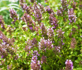 Thymus healing herb — Stock Photo