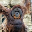 Foto Stock: Male orangutan