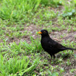 Blackbird on the green grass — Stock Photo